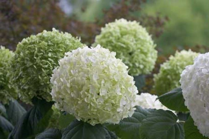 hydrangea-arborescens-strong-annabelle
