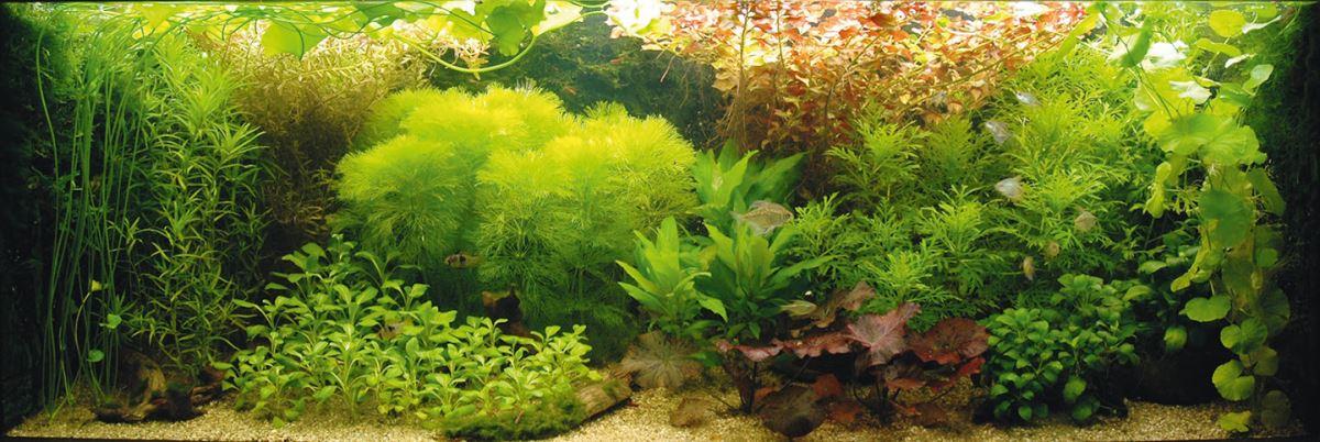 aquariumplant