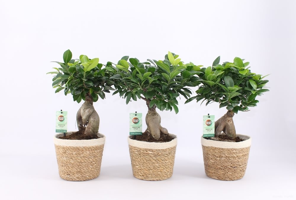 Bonsai Ficus Microcarpa Ginseng In Noah Korb Tuincentrum Pelckmans