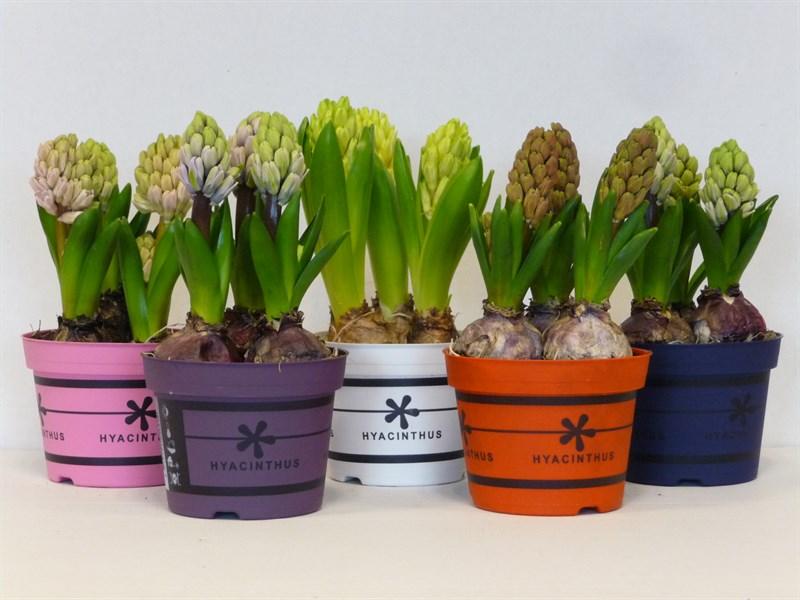 hyacint-3-bollen-pot-p12