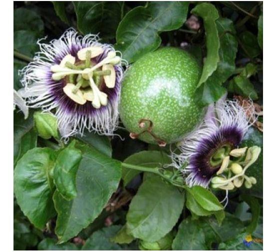 passiflora-edulis