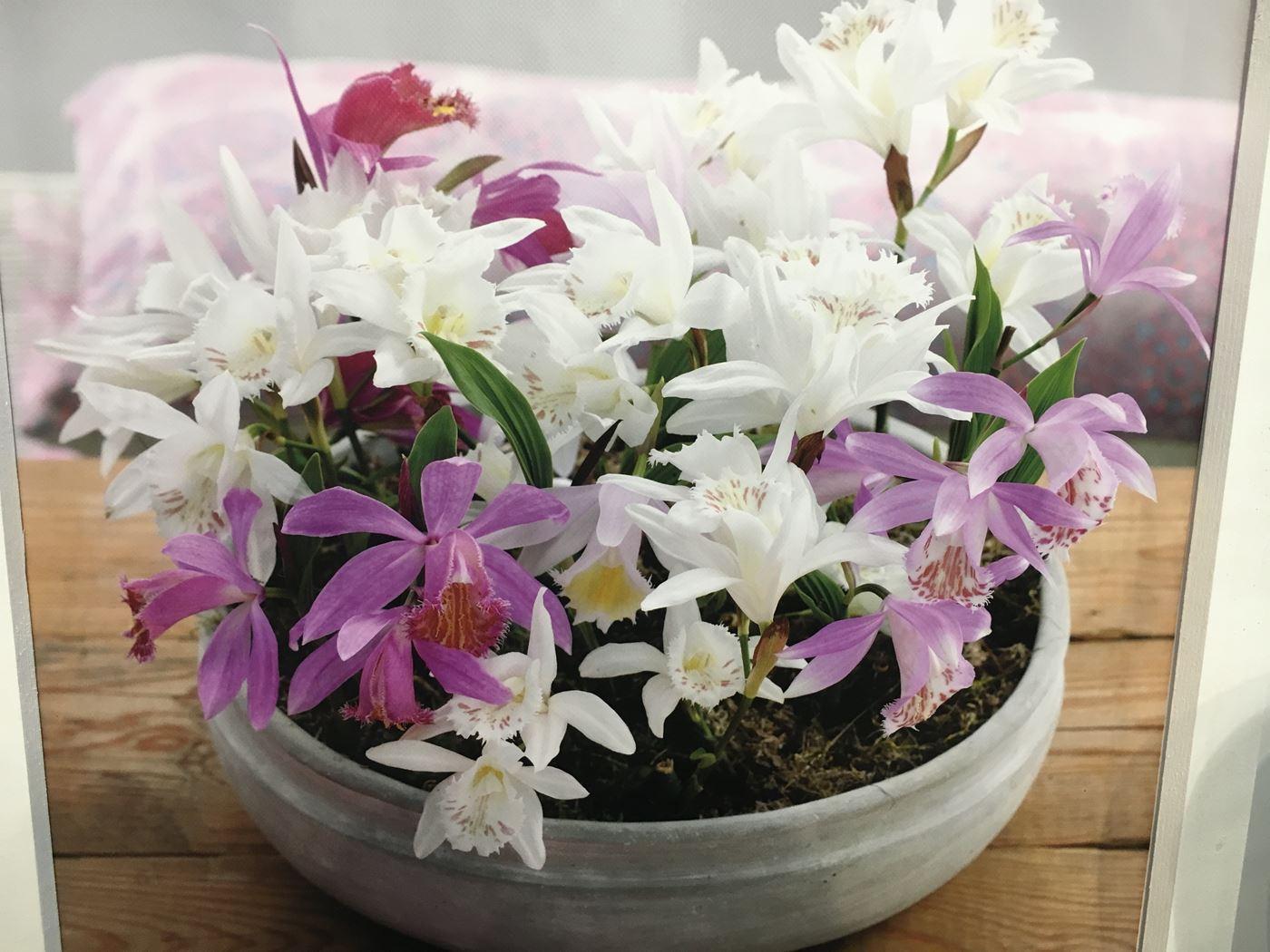 garden orchid pleione (tuinorchidee)