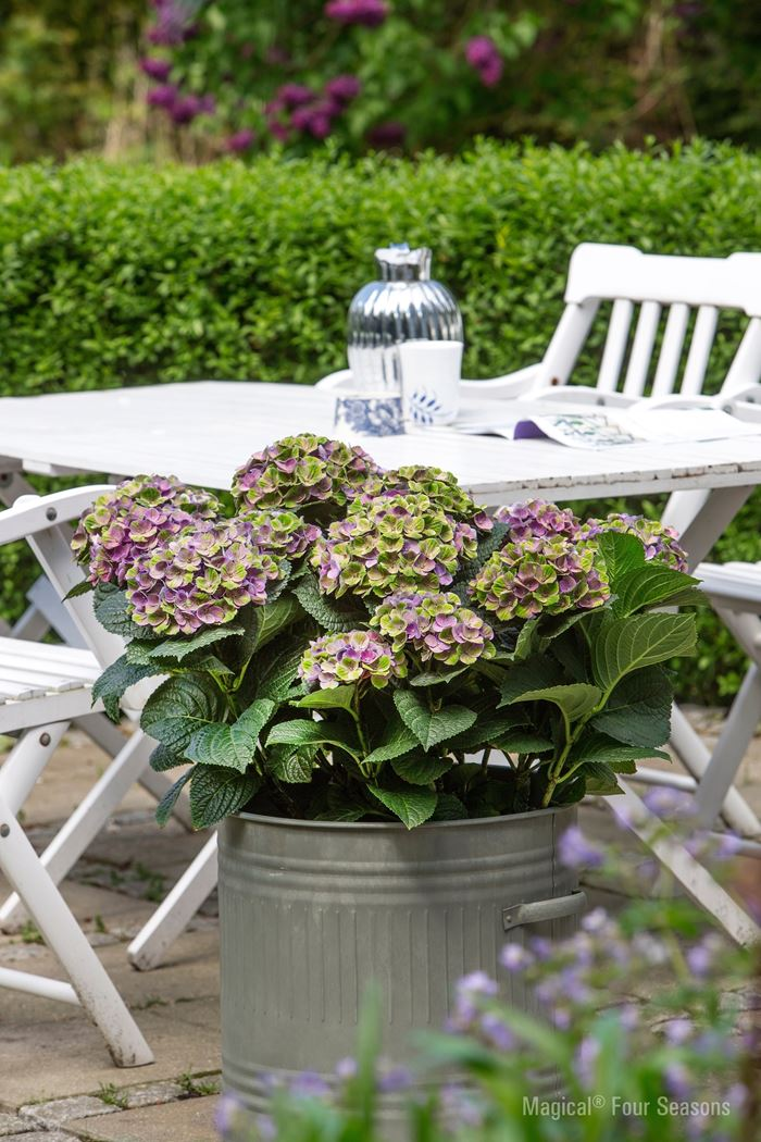 hydrangea macrophylla 'magical four seasons'