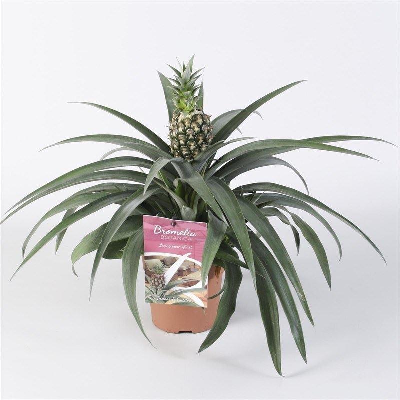 bromelia ananas 'corona' (ananasplant)