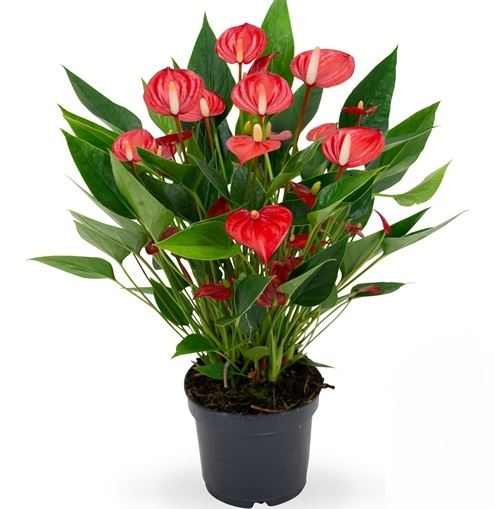 anthurium 'million flowers red'