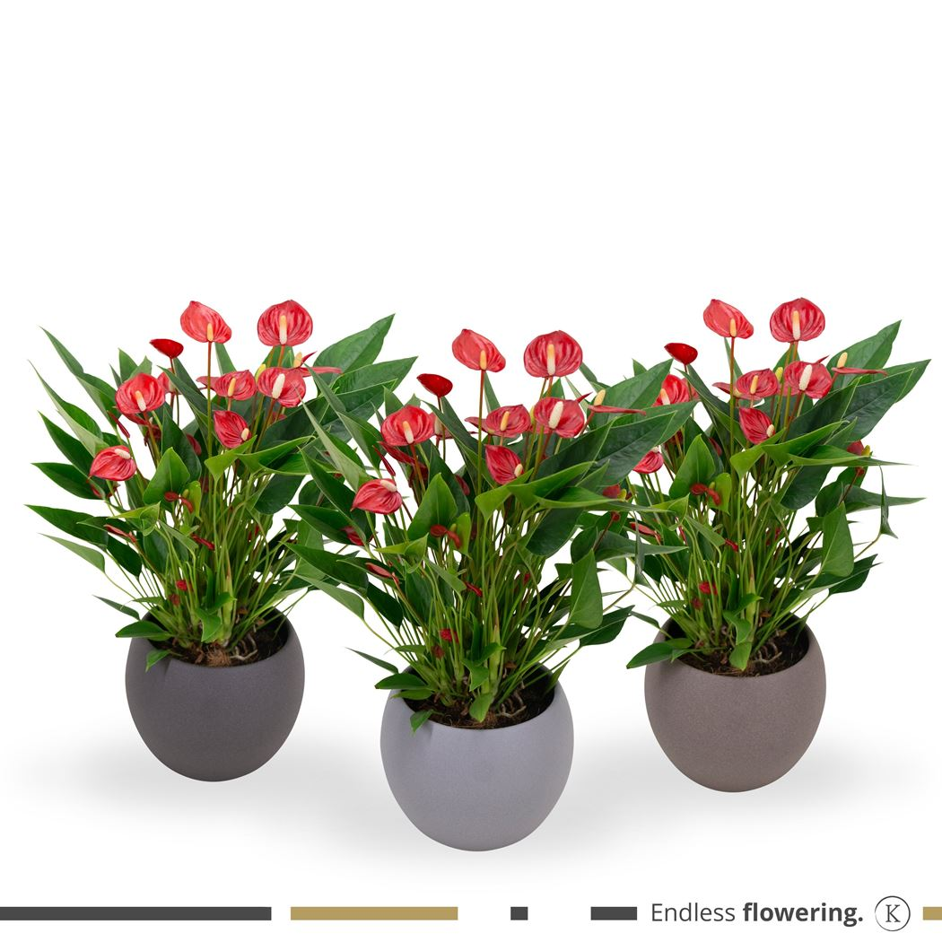 anthurium 'million flowers red' in ceramic stone look