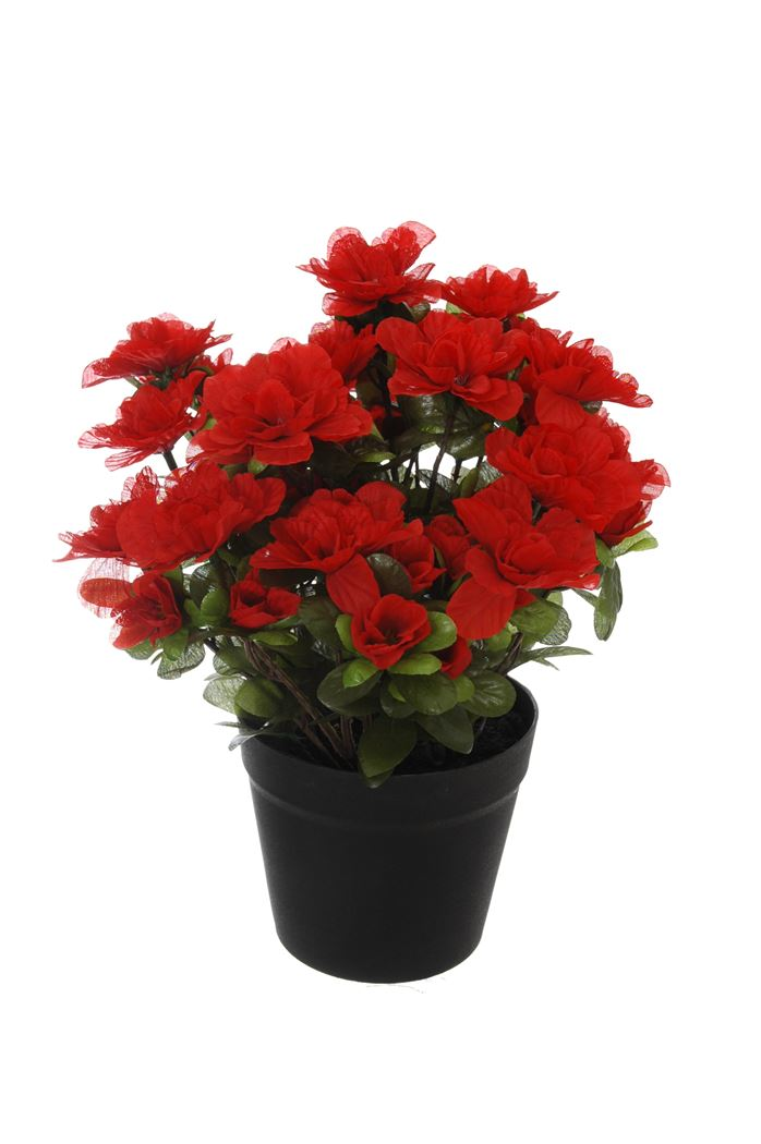 azalea in pot red