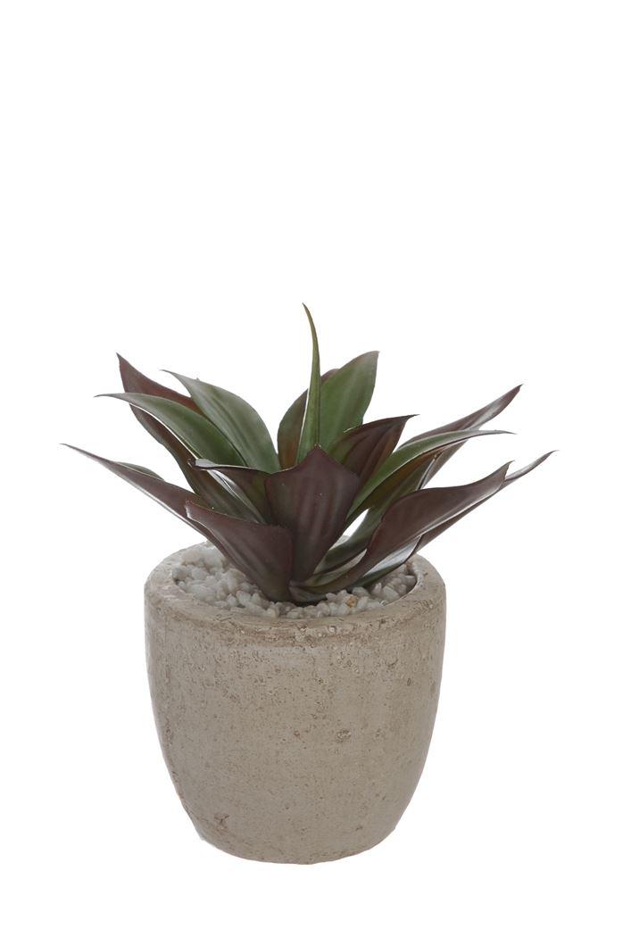 ball cactus in pot