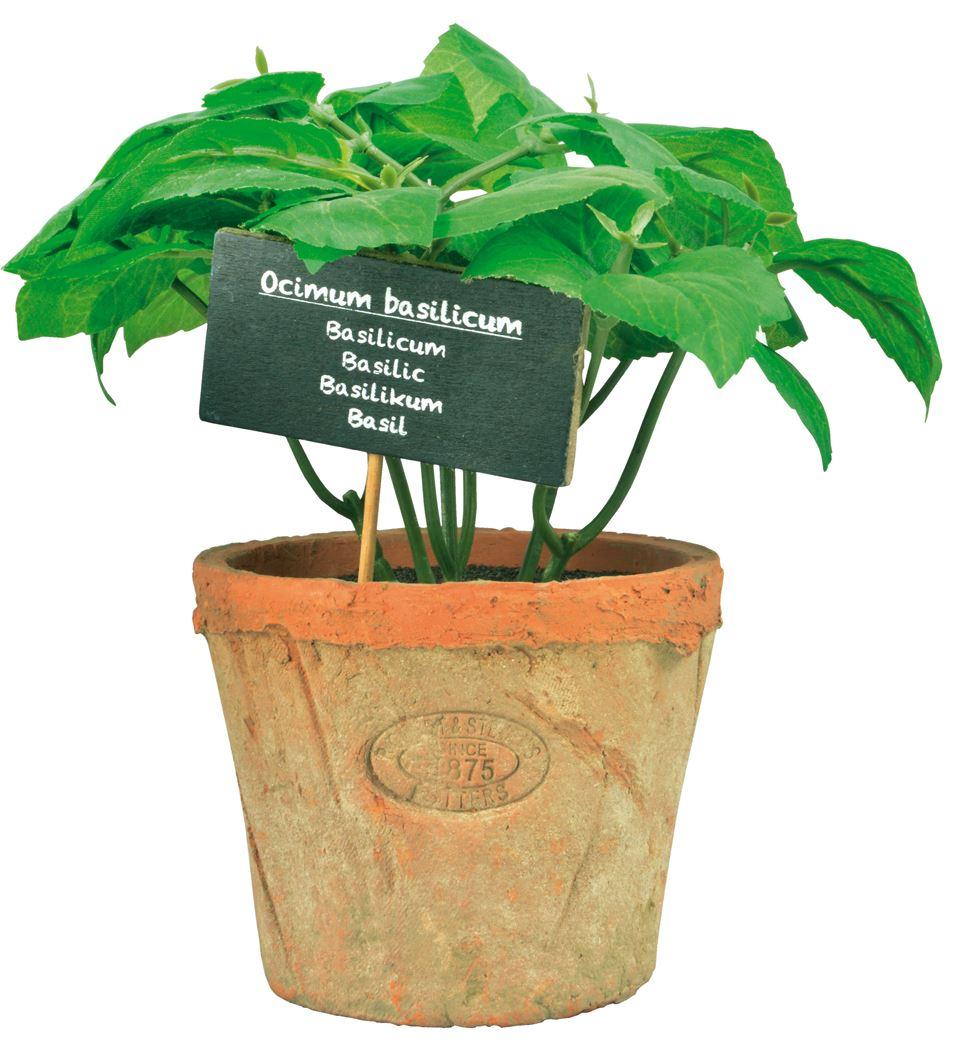 basilicum in aged terracota pot l