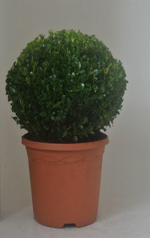 buxus sempervirens bolvorm
