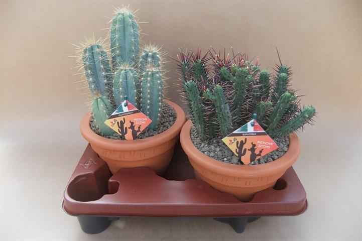 cactus gemengd in campana pot