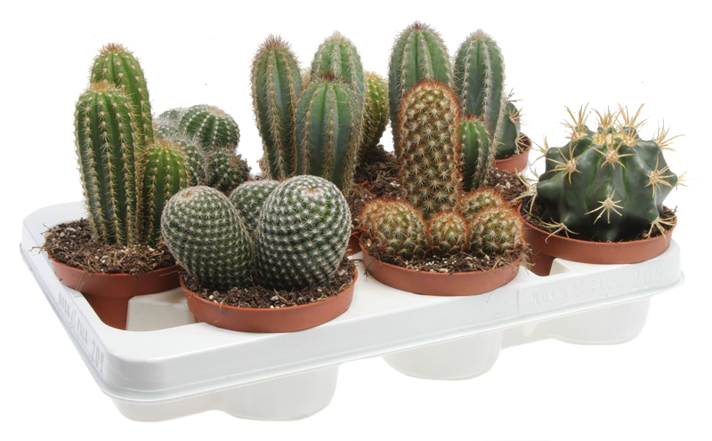 cactus gemengd (indian line)