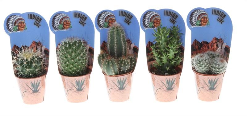 cactus gemengd (indian line)