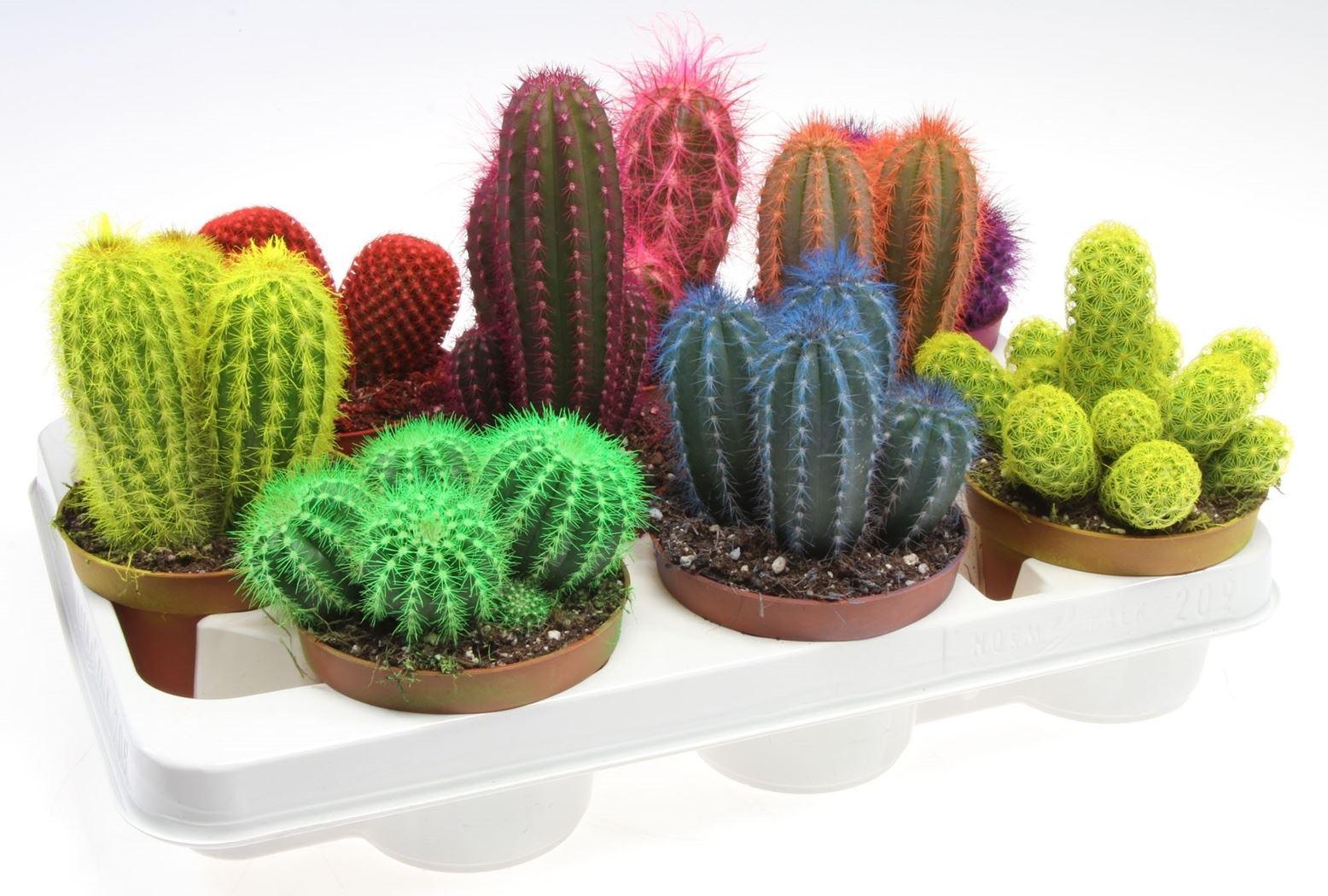 cactus gemengd rainbow