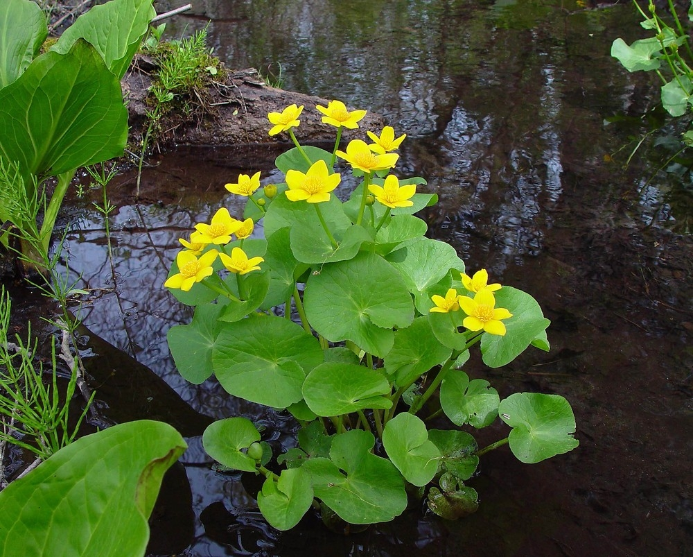 caltha palustris in mand