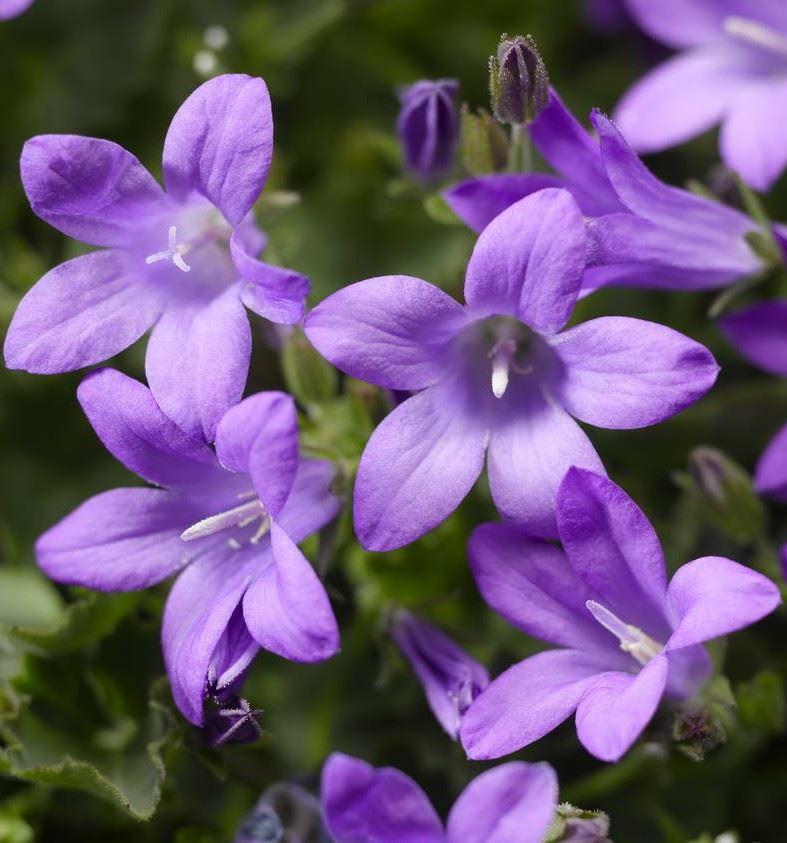 campanula portenschlagiana