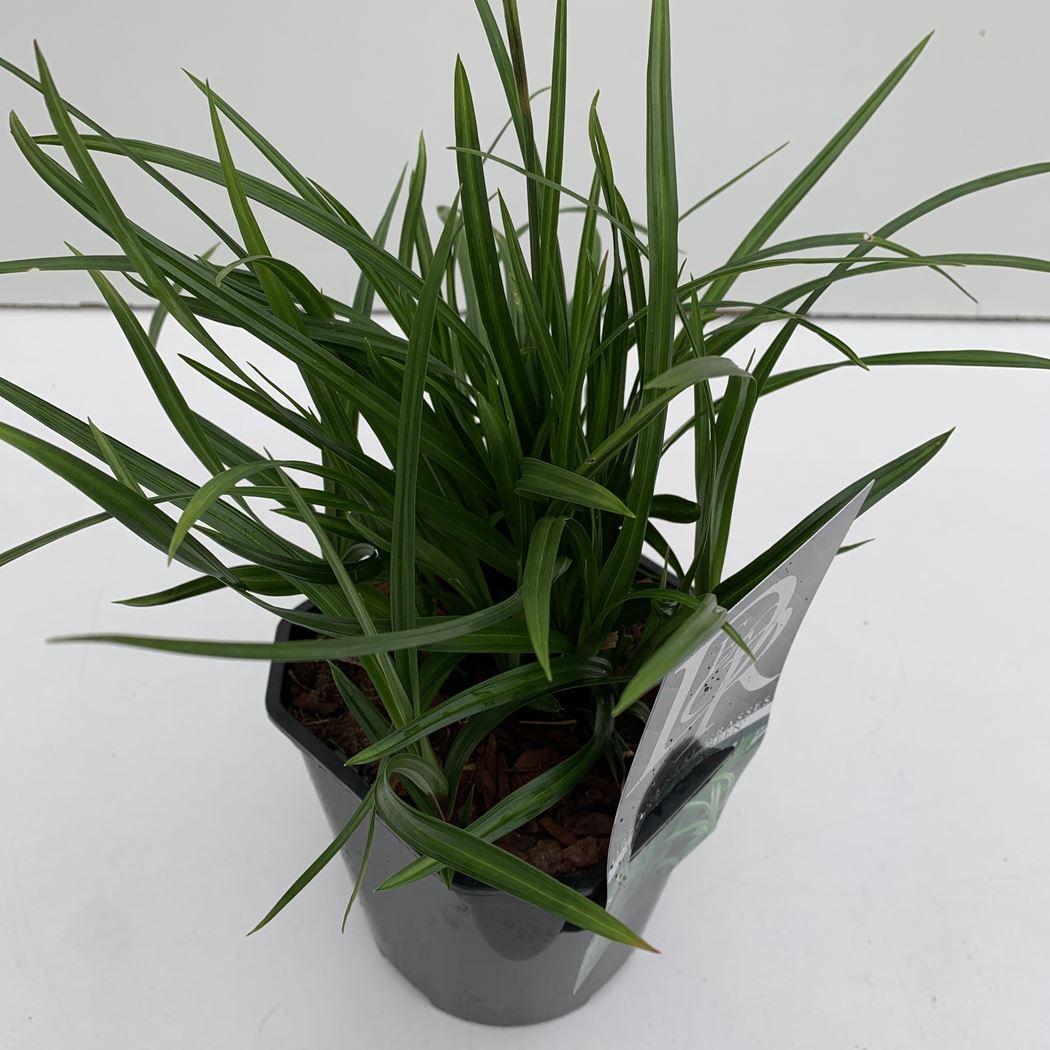 carex hachijoensis 'irish green'