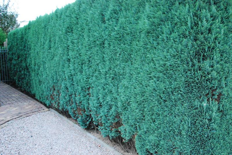 chamaecyparis lawsoniana 'columnaris glauca'