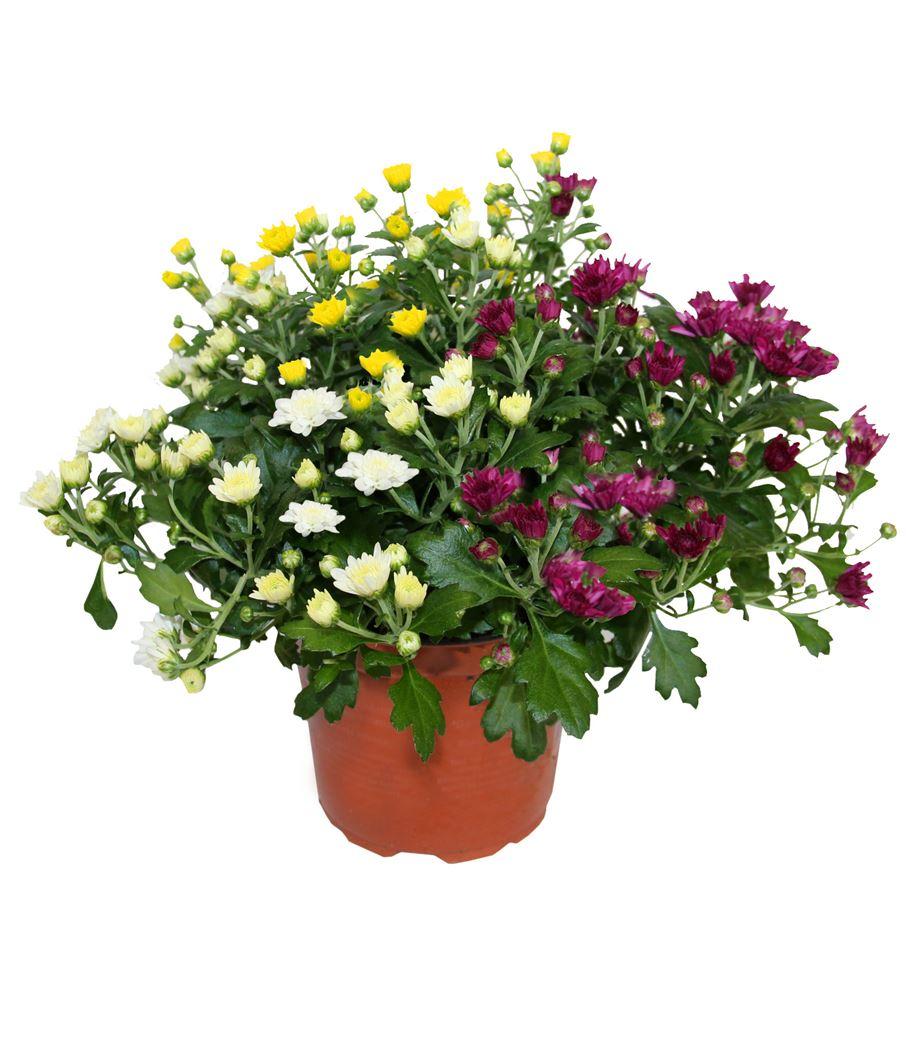chrysant garden mums 3 kleuren/pot