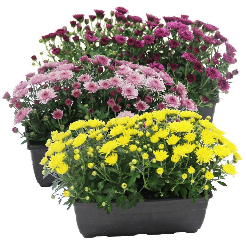 chrysant in bloembak