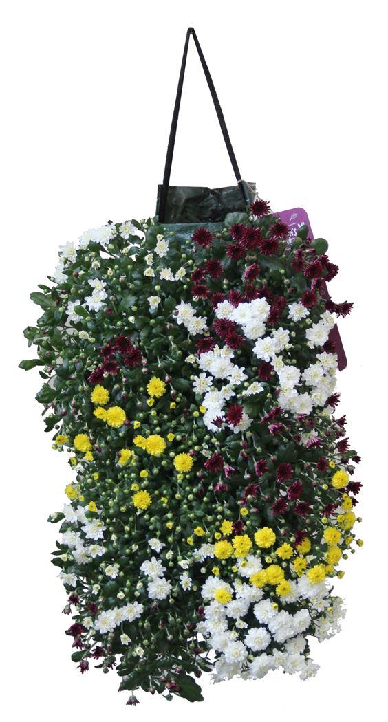 wanderella - chrysant 'skyfall'