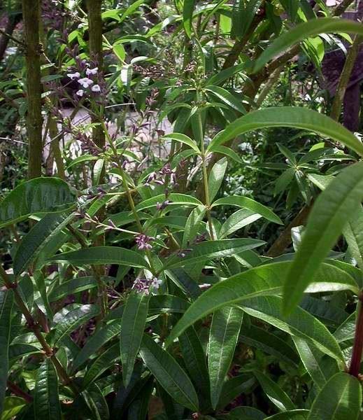 bio citroenverbena (lippia)