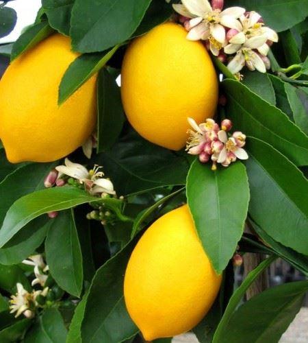 citrus citroen