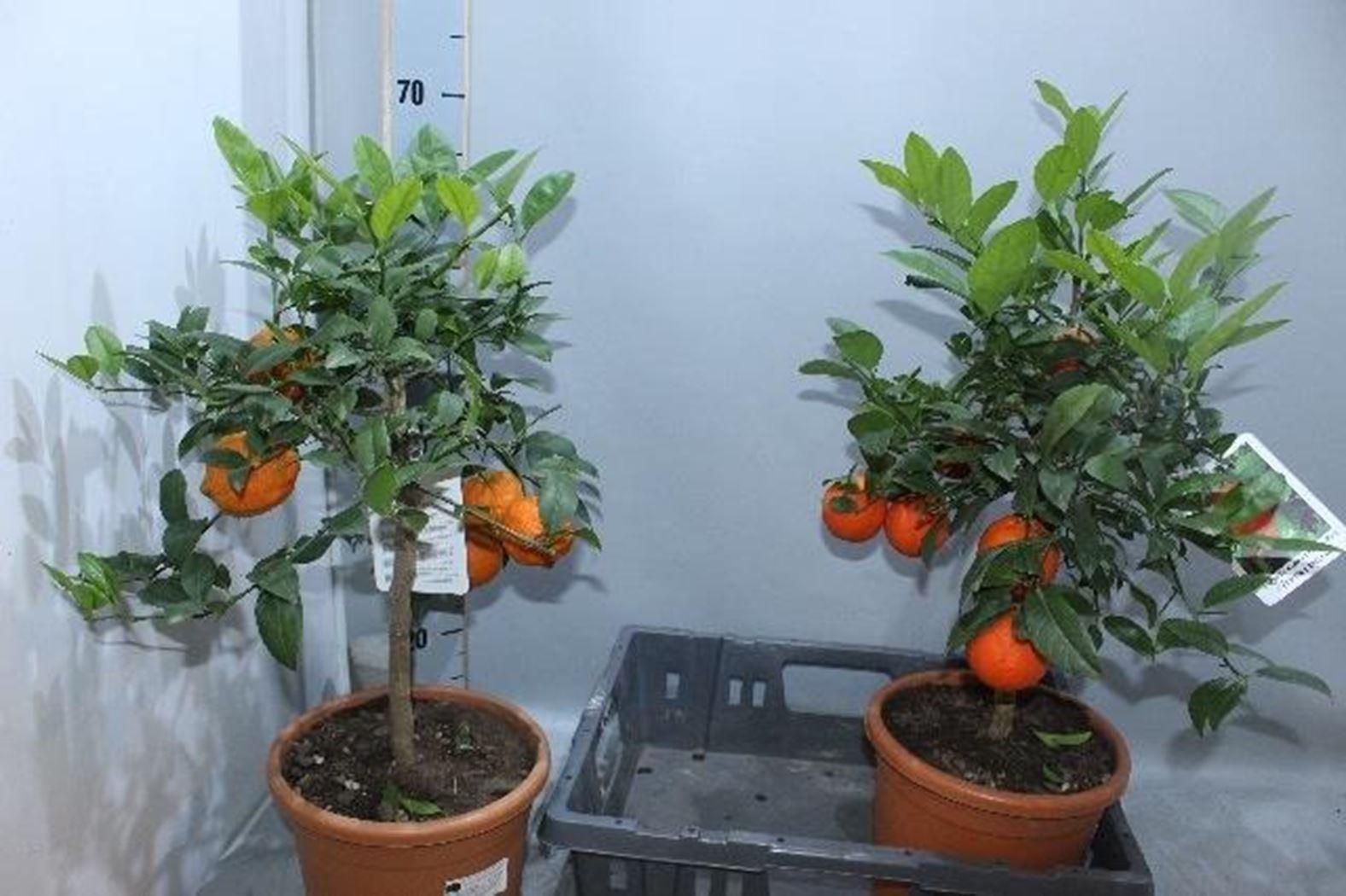 citrus in soorten
