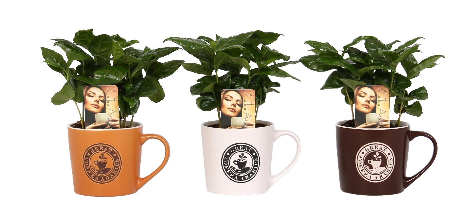 coffea arabica in koffiemok