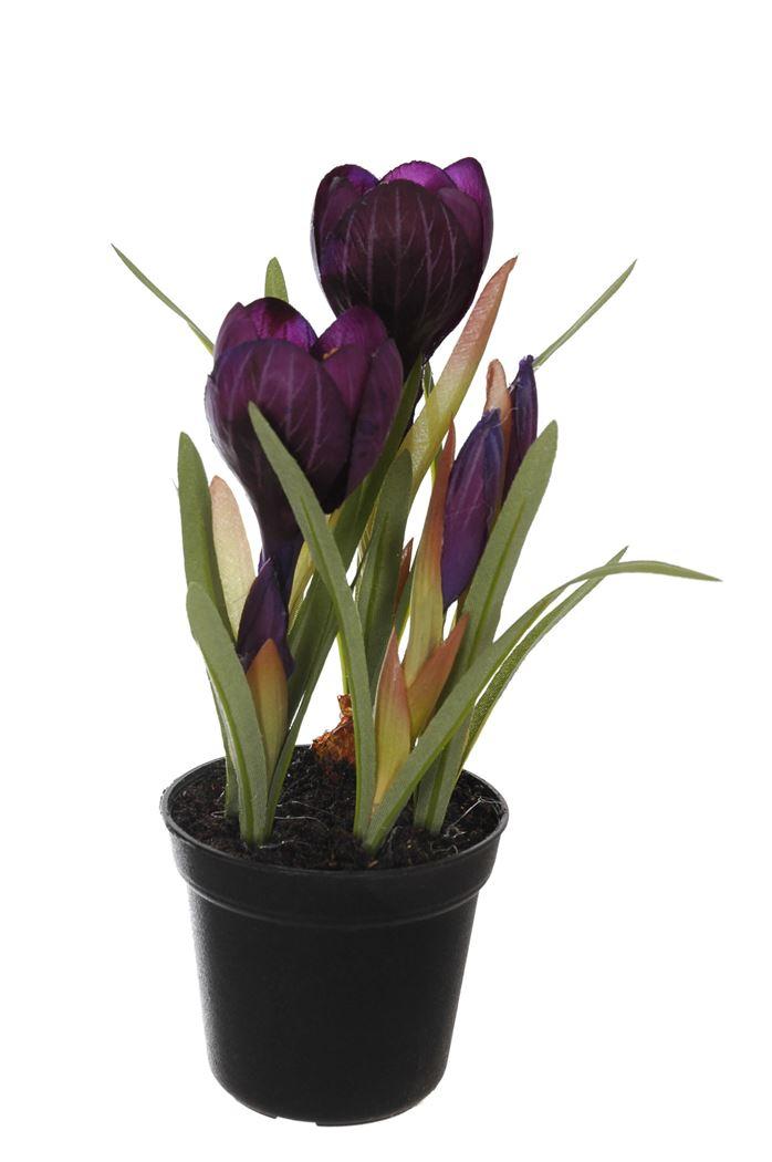 crocus x 5 in pot purple