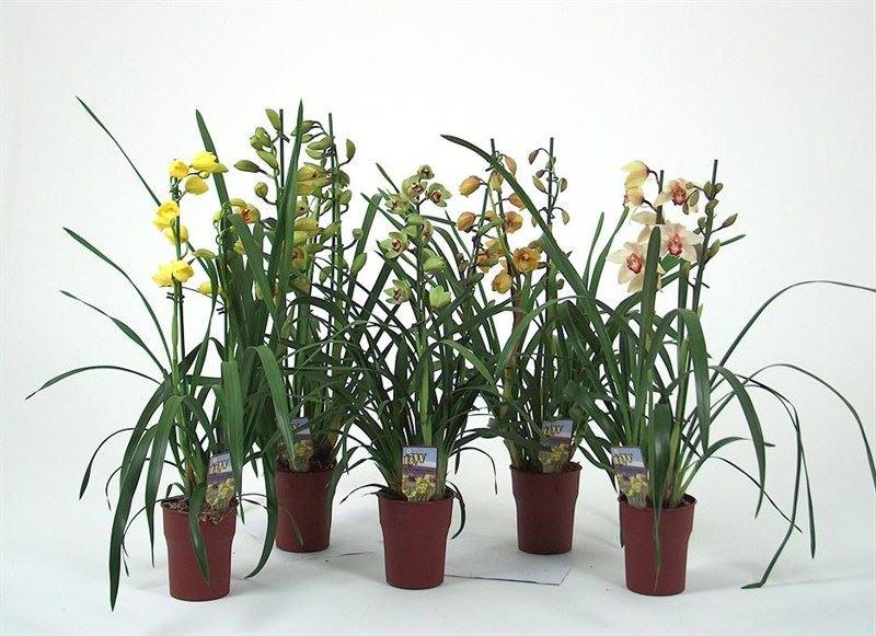 cymbidium gemengd 3 bloemstelen