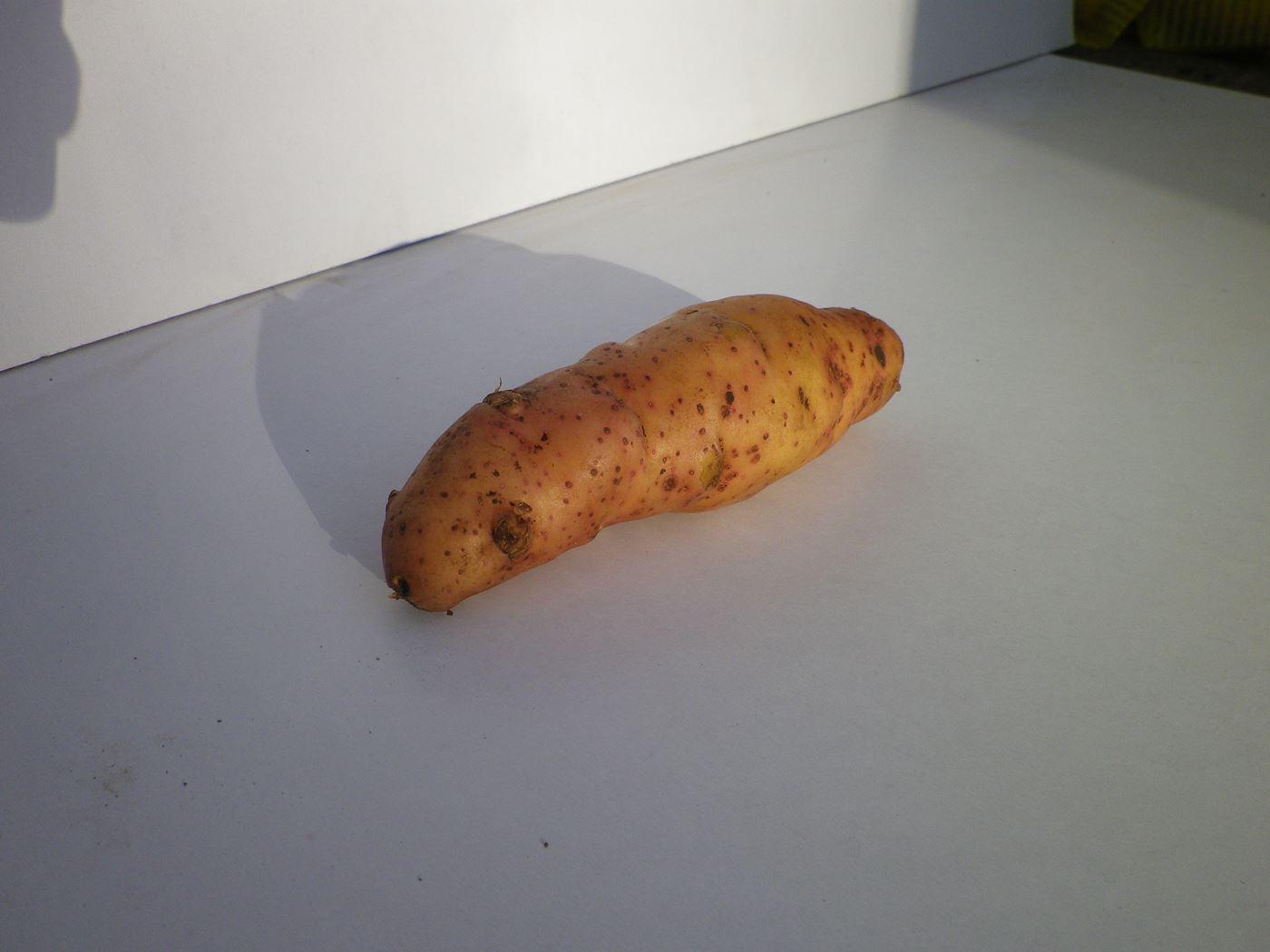 debaere pootaardappel corne de gatte ecosse (25/35mm)