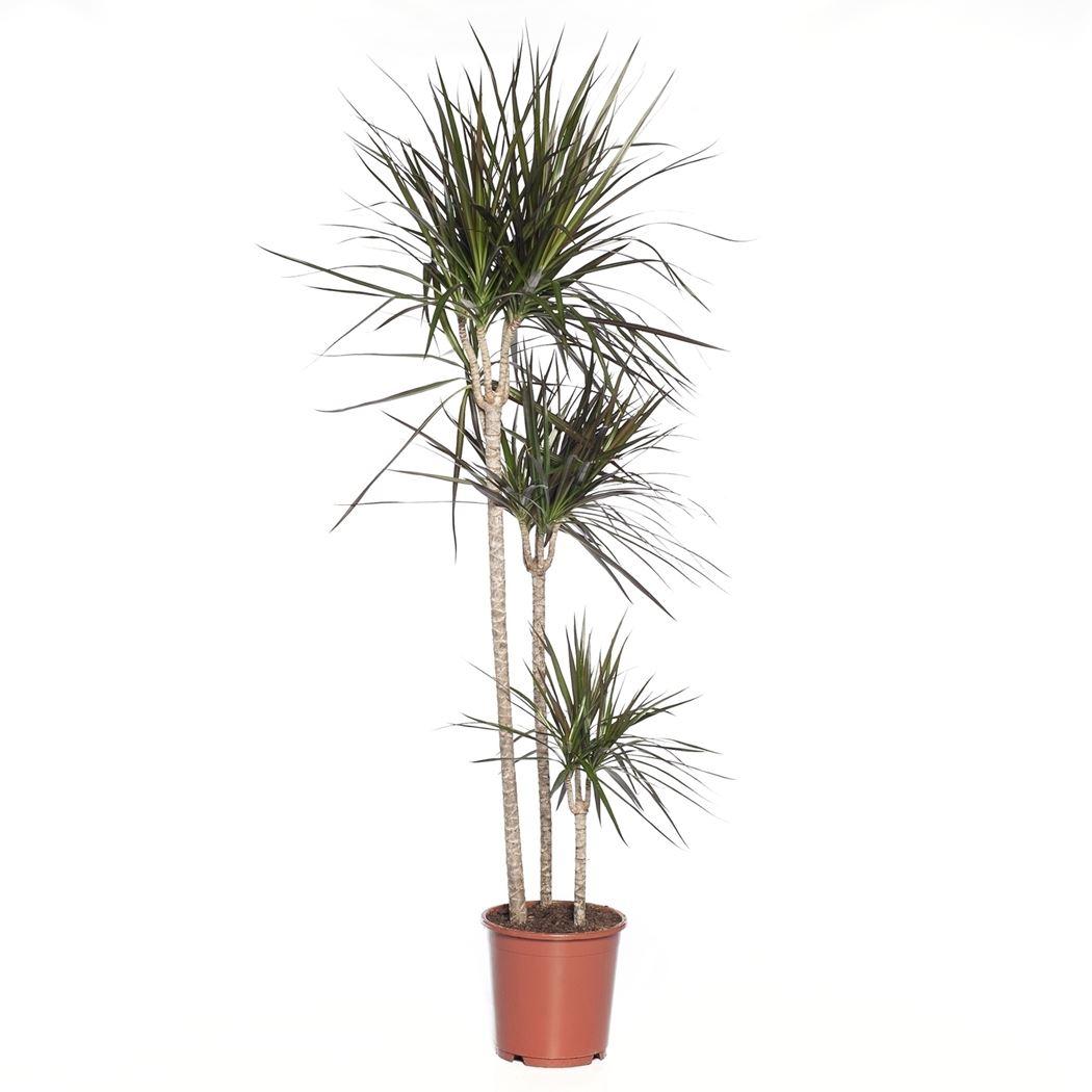 dracaena marginata 'magenta'