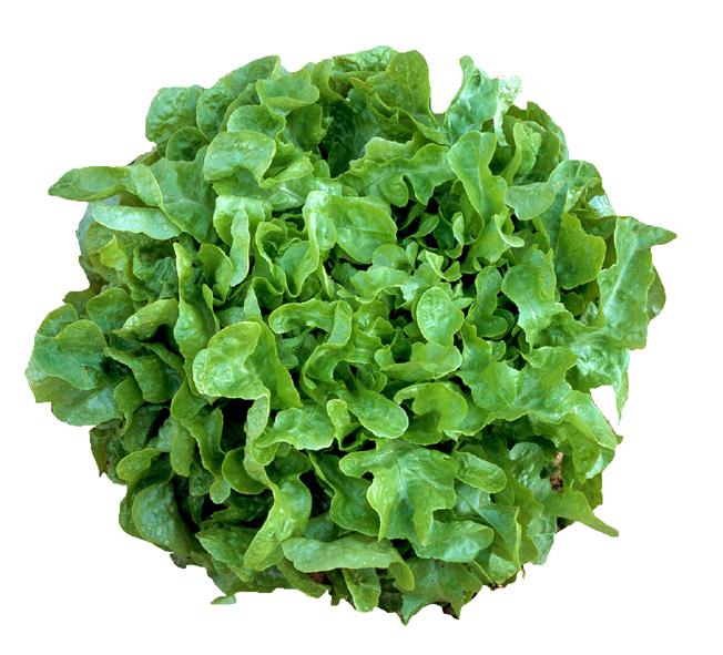 slaplanten eikeblad groen in setje (6sts)