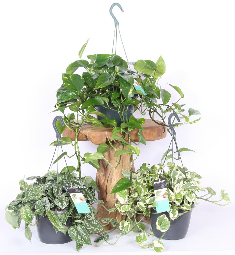 epipremnum pinnatum gemengd