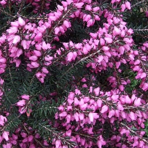 erica darleyensis 'kramer's rood'