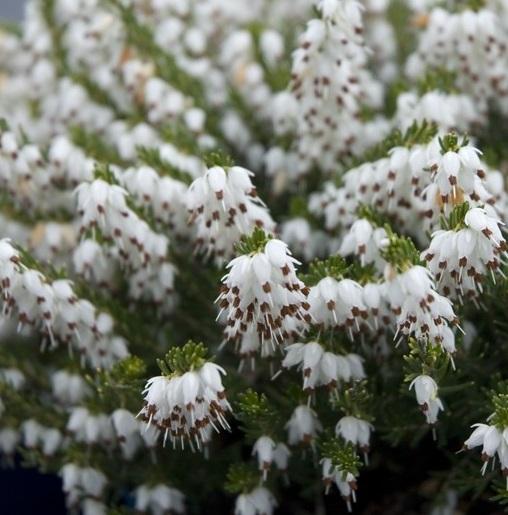 erica darleyensis 'silberschmelze'