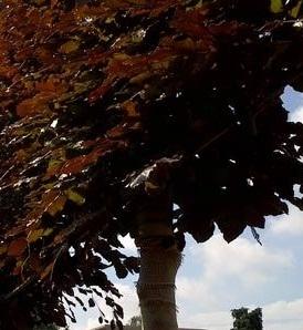 fagus sylvatica 'atropunicea' leischerm 150 x 120cm