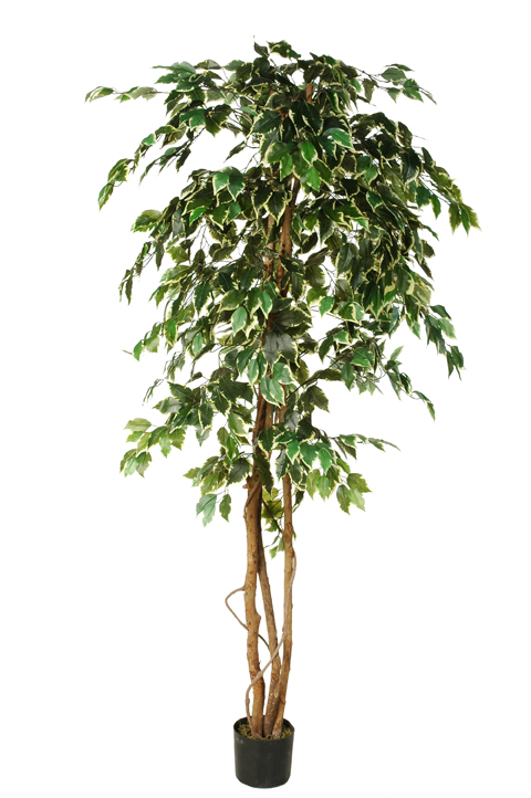 ficus tree with 1008 leaves in pot white green