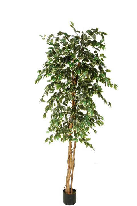 ficus tree with 1260 leaves in pot white green