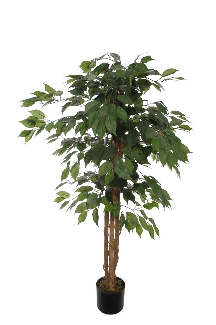ficus tree with 504 leaves in pot green