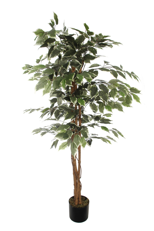 ficus tree with 504 leaves in pot white green