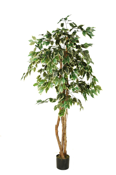 ficus tree with 756 leaves in pot white green