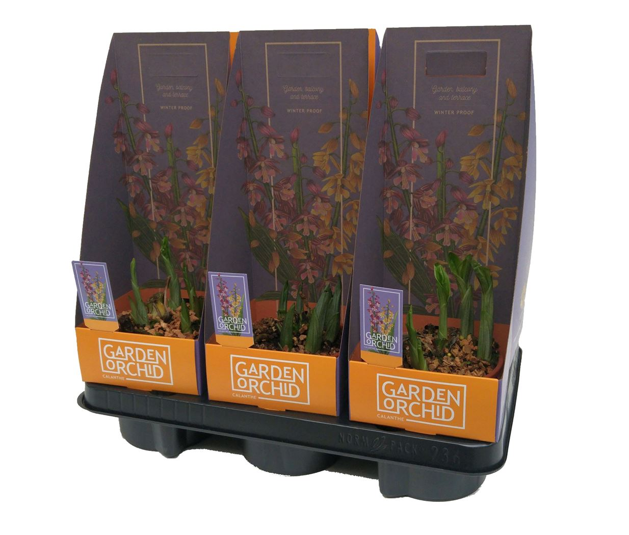 garden orchid calanthe (tuinorchidee)
