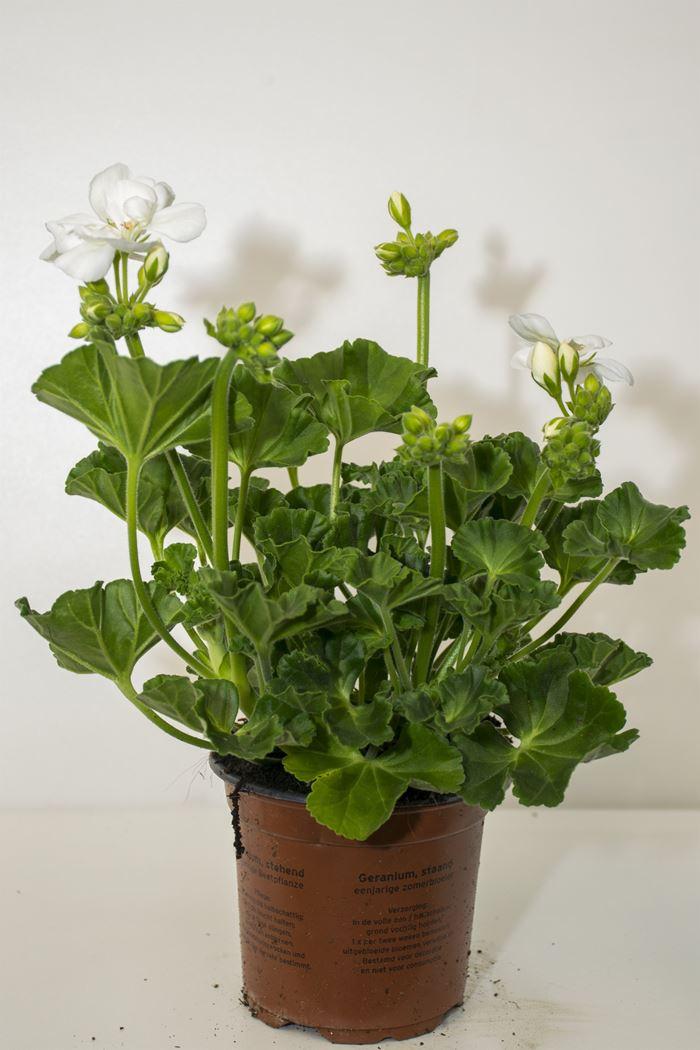 geranium staande wit