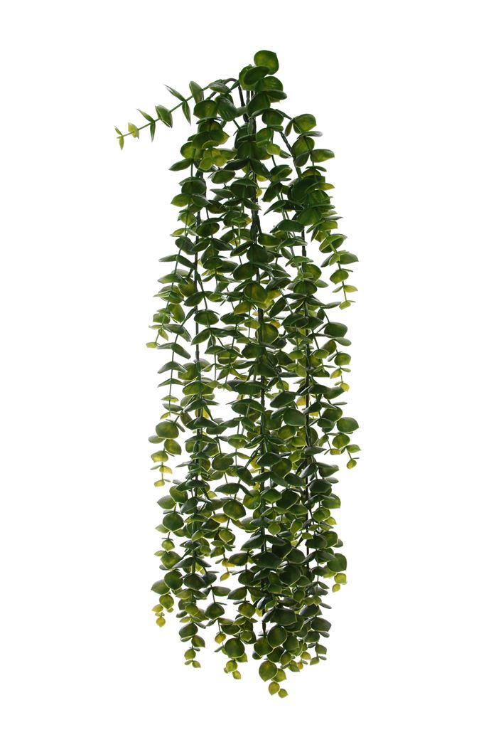 hanging eucalyptus bush green