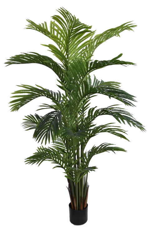 hawaiian palm tree with 21 leaves in pot green