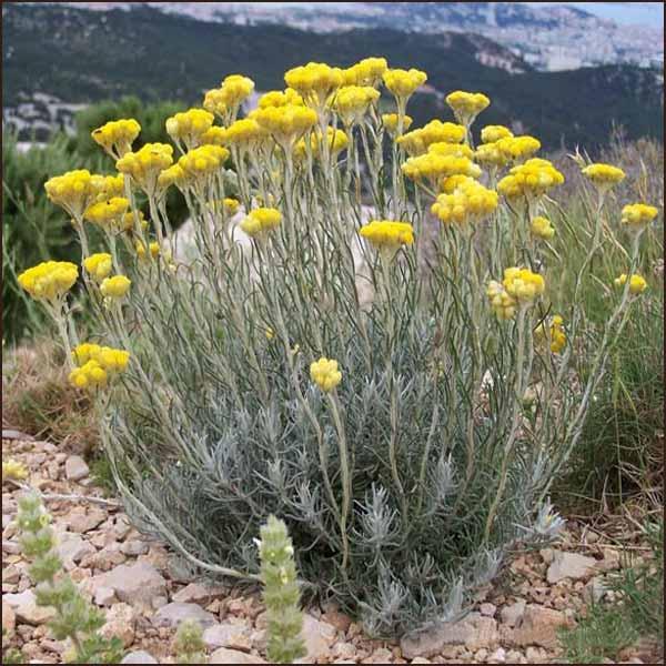 helichrysum italicum (kerrieplant)