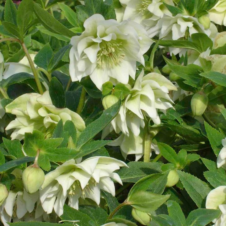 helleborus orientalis 'double ellen white'