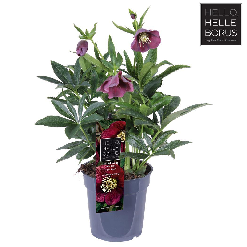 helleborus orientalis 'hello red'®